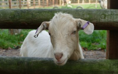 Walk with Goats at Hope Nature Centre